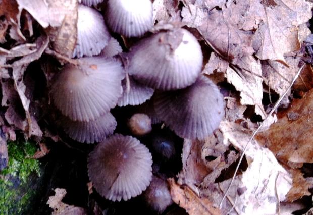 Zeplora fungi IMG_4037