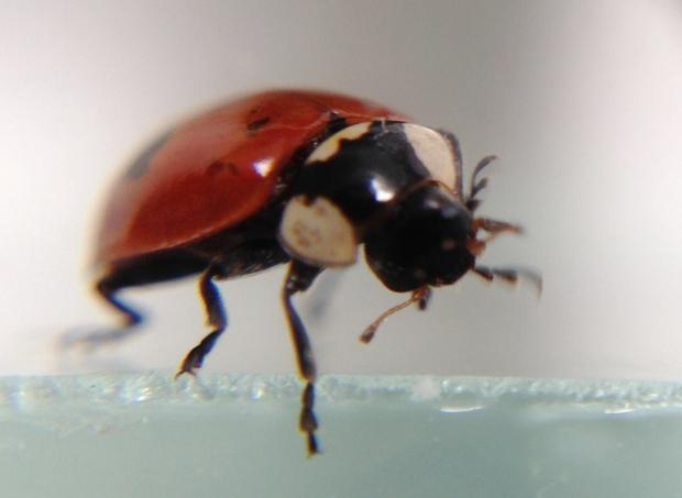 zeplora ladybeetle IMG_5349