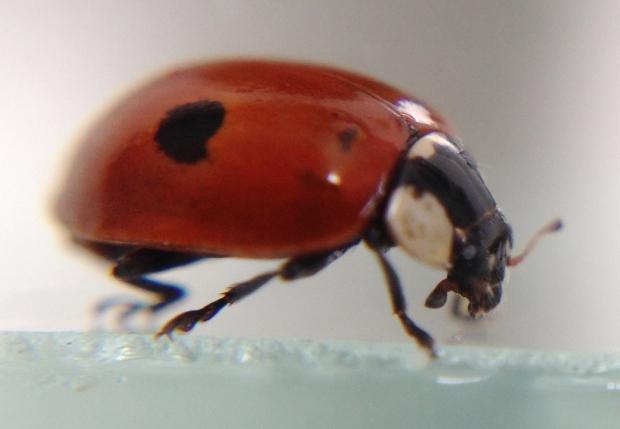 zeplora ladybeetle IMG_5350