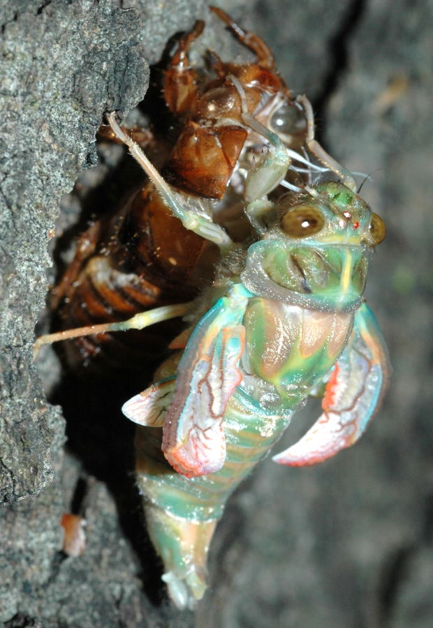 Cicada, still with crumpled wings
