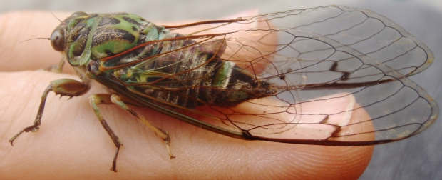 One of the cicada species in Christchurch