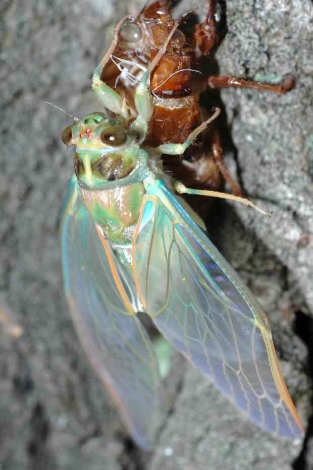 Cicada with wings smoothed out, though not yet 'hardened'