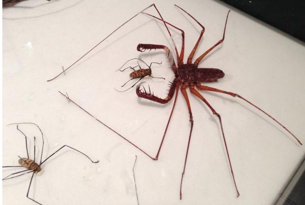 Scorpion spider?