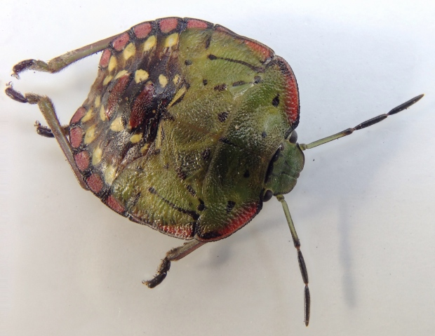 Green vegetable bug after it had moulted