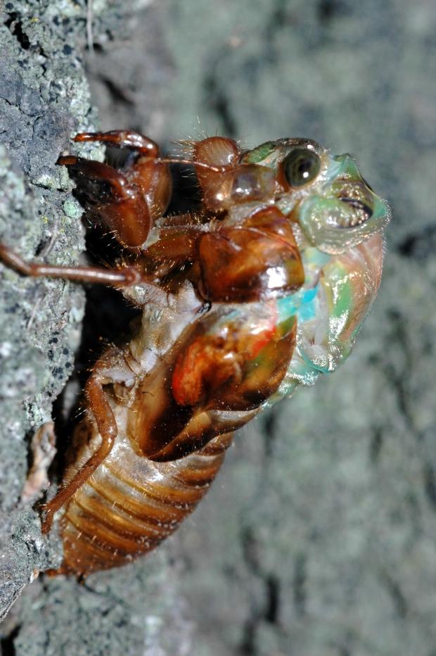 Cicada moulting (ecdysis)