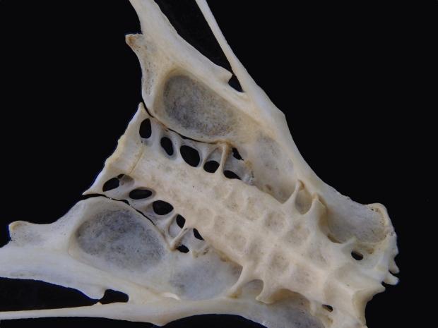 Part of a finch skull