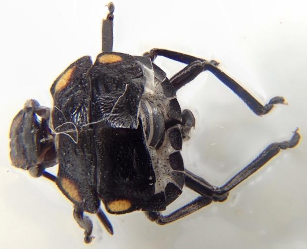 Green vegetable bug exoskeleton (top view)