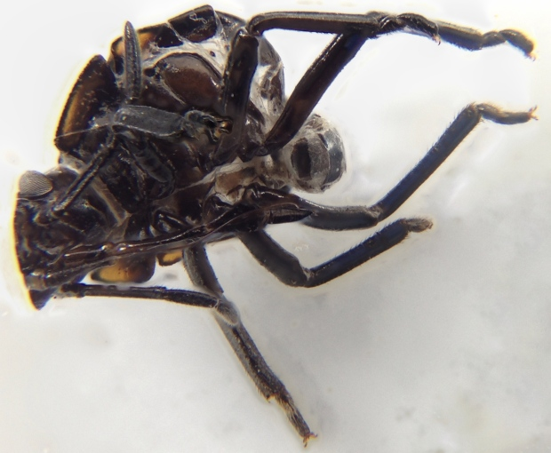 Green vegetable bug exoskeleton (underneath)